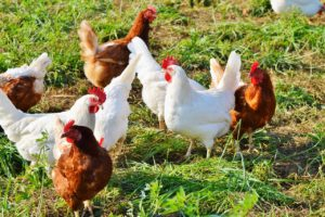 Of Chicken Fences, Predators, and Faith - Life Around the Coffee Cup - www.leahheffner.com